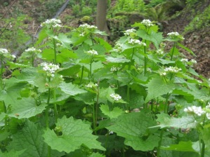 garlic_mustard_flowering.jpg