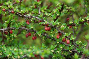 GettyImages-528067872-Japanesebarberry-1024x680.jpg