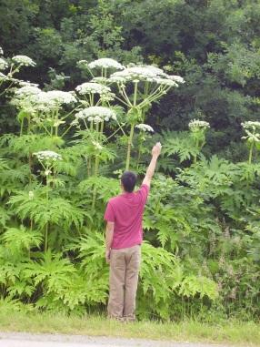 Giant_hogweed010_Barker_1.jpg