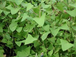 Persicaria_perfoliata_5273095.jpg