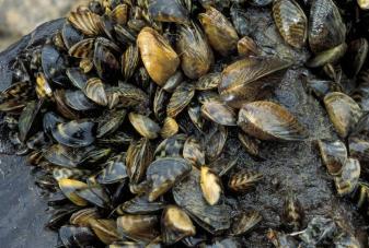 zebra_mussel_13.jpg